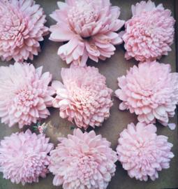 Sola Zinnia Elegans   pink  Bedankje