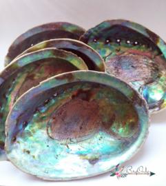 Abalone smudgeschelp uit Nieuw Zeeland Large