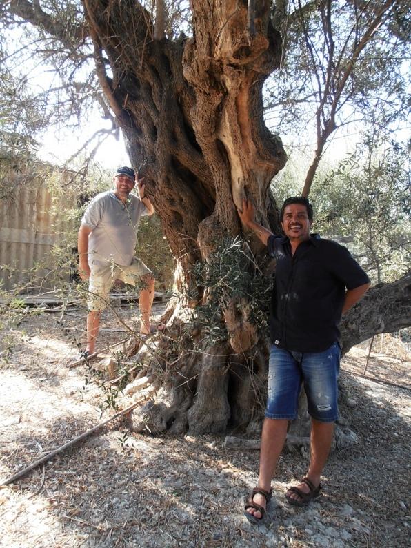 Olijfbomen van 500 jaar oud