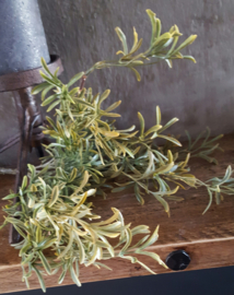 Bosje sedum bush