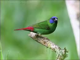 3 kleur papegaai amadine