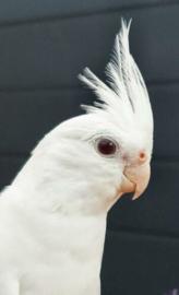 jonge valkparkiet, albino