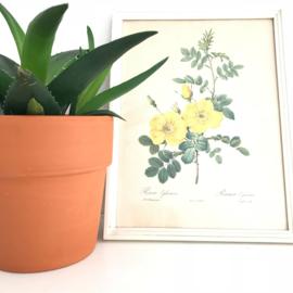 """Vintage schilderijtje rozen print """"Rosier Eglantier"""", naar  Redouté"""