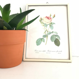 """Vintage schilderijtje rozen print """"Rosier mousseux a fleurs doubles"""", naar  Redouté"""