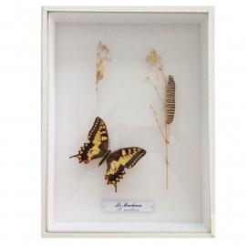 Vintage Vlinderkastje( Taxidermy) nr. 4