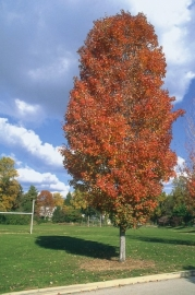 Acer rubrum  'Scanlon' - Rood verkleurende Esdoorn -
