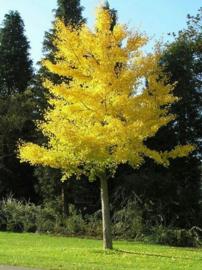 Bomen G-I