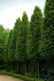 Carpinus betulus Fasigiata - Haagbeuk -  Piramidale Haagbeuk -