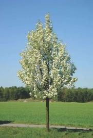 Pyrus calleryana 'Chanticleer' - Sierpeer -