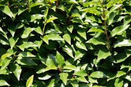 Prunus lusitanica 'Angustifolia' - Portugese laurier