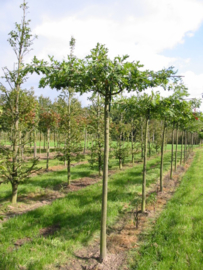 Quercus palustris - Dakmodel- Parasolmodel- Moeras Eik