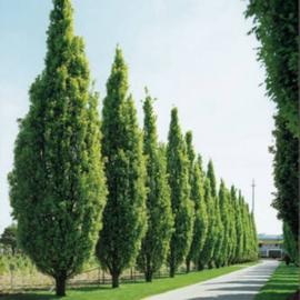 Quercus robur Fasigiata Koster - Zuileik-