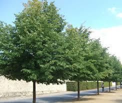 Tilia europaea Pallida - Grootbladige Linde -  Koningslinde