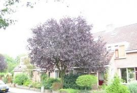Prunus cerasifera 'Nigra' - Roodbladige Sierkers -