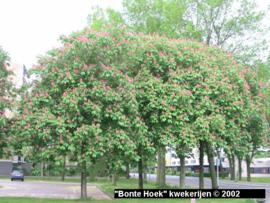 Aesculus carnea 'Briotii' - Rood bloeiende kastanje -