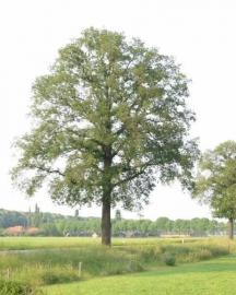 Quercus robur - Zomereik