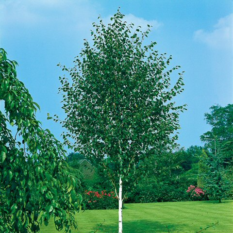Betula utilis Doorenbos - Himalayaberk