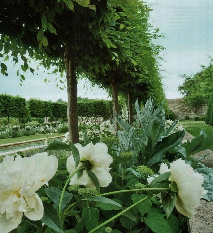 Carpinus betulus - Haagbeuk- Leivorm