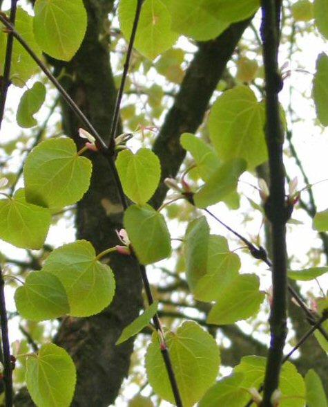 Cercidiphyllum japonicum - Katsuraboom- Hartjesboom -