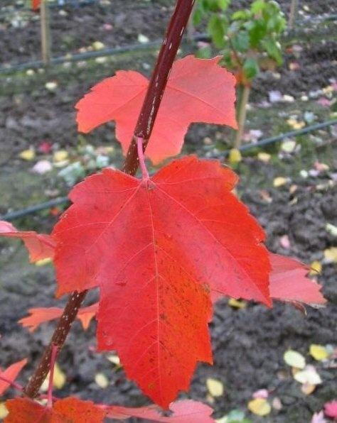 Acer rubrum 'Red Sunset' - Rood verkleurende esdoorn - Rode Esdoorn