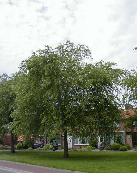 Betula nigra - Zwarte Berk -