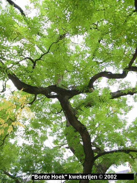 Sophora japonica - Honingboom - Japanse pagodeboom