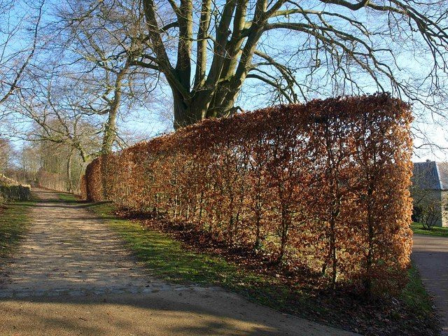 Fagus sylvatica 'Atropunicea' - Rode Beuk - Rode beukenhaag -