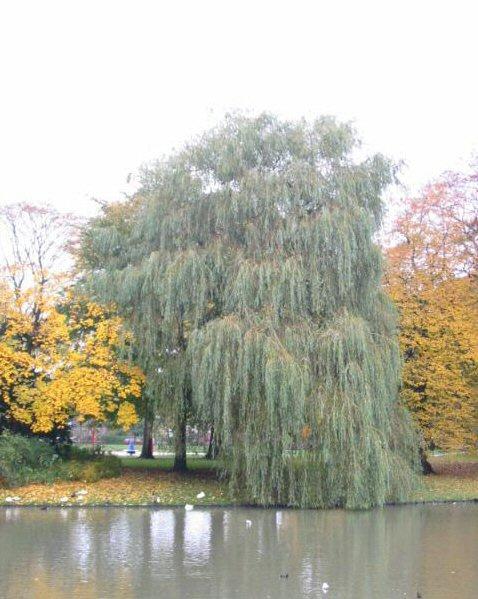 Salix sepulcralis 'Chrysocoma' - Treurwilg