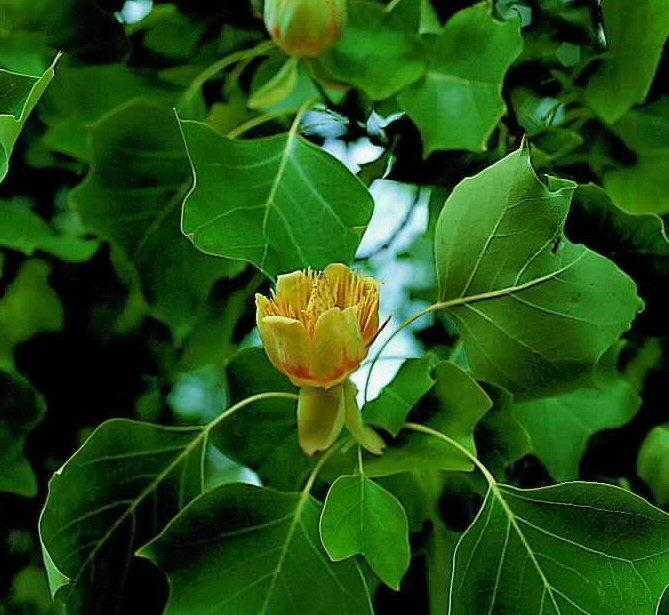 Liriodendron tulipifera - Tulpenboom -