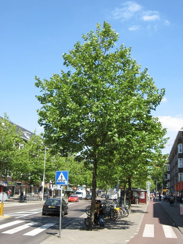 Platanus hispanica (acerifolia) - Plataan