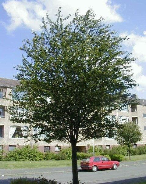 Prunus 'Pandora' - Sierkers -