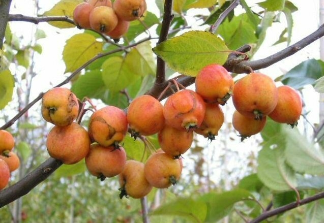 Malus Evereste -Sierappel-