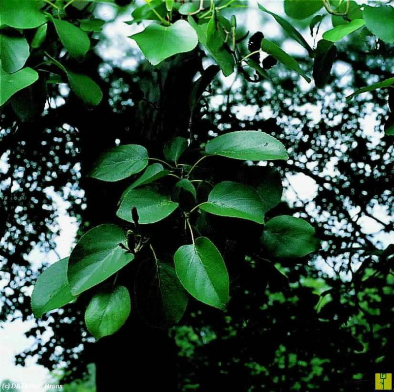Alnus cordata -  Hartbladige Els