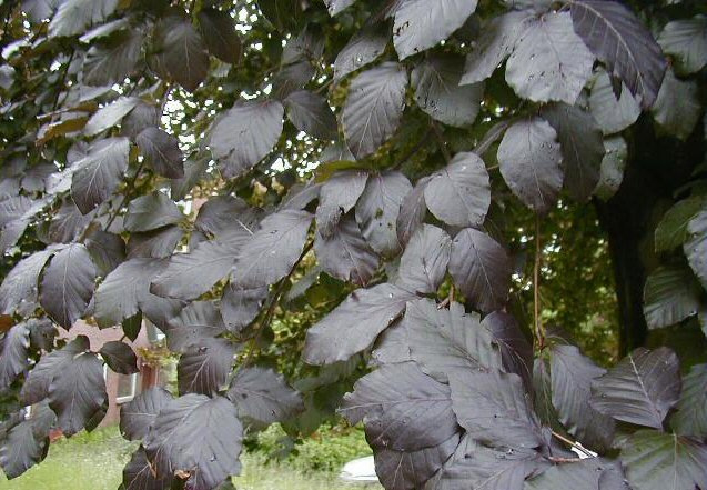 Fagus sylvatica Atropunicea -  Leivorm Rode Beuk - Lei-Beuk