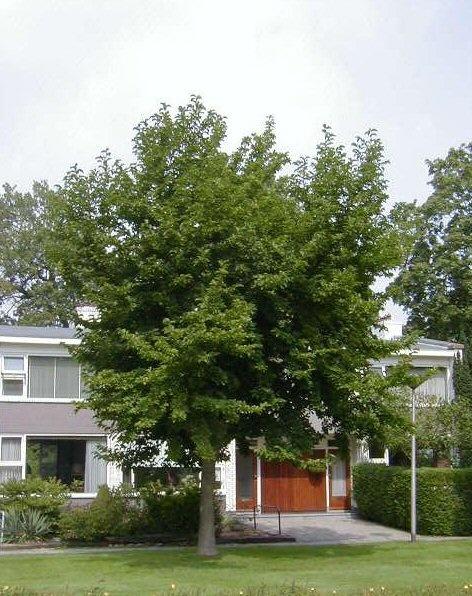 Magnolia kobus - Beverboom