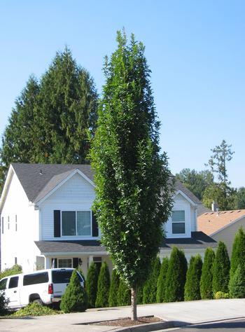 Quercus palustris Green Pillar - Zuilvormige Moeraseik