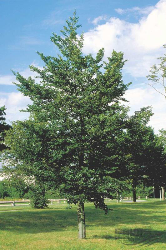 Fagus sylvatica - Groene Beuk -