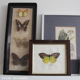 ingelijste prent vlinder - Iphias Leucippe