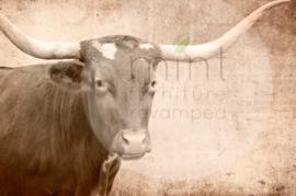 Texas longhorn A1