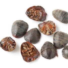 Tu Bie Chong - Eupolyphaga Seu Steleophaga - Ground Beetle - 100gr