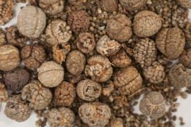 Cao Duo Kou - Semen Alpiniae Katsumadai - Katsumada Galangal Seed 100gr