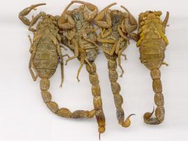 Quan Xie Fen - Scorpio Powder - Scorpion Powder - 50 gram