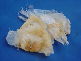 Mu Hu Die - Semen Oroxyli - Indian Trumpetflower seed - 100gr