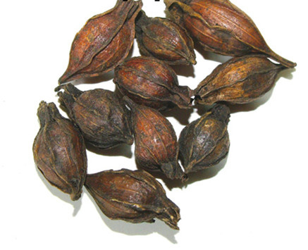 Zhi Zi (chao) - Fructus Gardeniae Preparata - Cape Jasmine Fruit Prepared - 100gr
