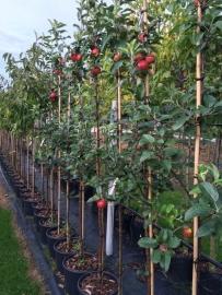 Halfstam fruitboom appel, peer, kers of pruim