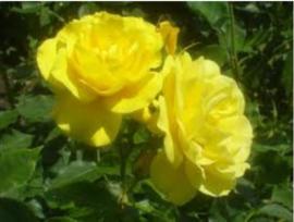 Rosa Friesia stamroos stamhoogte 80-90 cm.