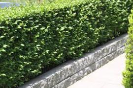 Ligustrum vulgare (bladverliezende liguster)