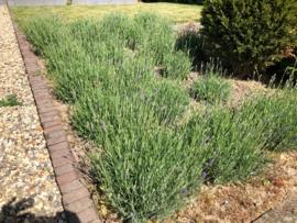 Lavendel (lavandula) ang. Hidcote