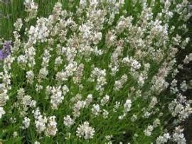 Lavendel (lavandula) ang. 'Alba'