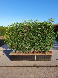 Prunus lusitanica 'Angustifolia' 80 cm kant en klaar haag